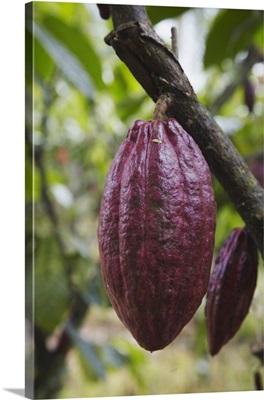 Cocoa fruit on tree, Kalitakir Plantation, Kalibaru, Java, Indonesia