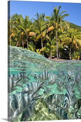 Colorful Fish And Palm Trees At Le Morne In The South Coast. Mauritius