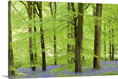 Common Bluebells flowering in a beech wood, West Woods, Wiltshire, England