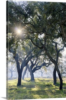Cork Trees In A Misty Morning. A Forest (Montado) Near Palmela, Portugal