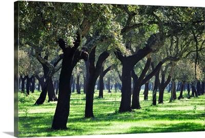 Cork trees in Alentejo, Portugal
