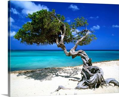 Divi Divi Tree, Aruba, Lesser Antilles, Caribbean