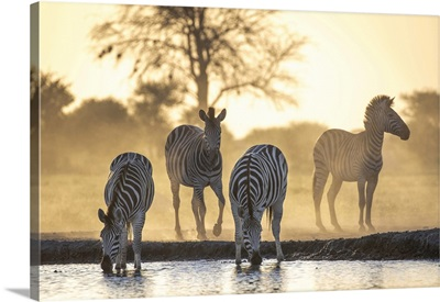 Drinking Zebra, Nxai Pan National Park, Botswana