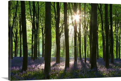 Early morning sunlight in West Woods bluebell woodland, Wiltshire, England