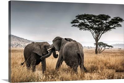 Elephant bulls fighting in the Serengeti National Park, Tanzania, Africa