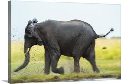 Elephant, Chobe Nat Pk, Botswana, Africa