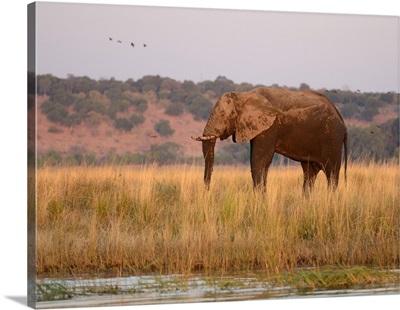 Elephant on island at Chobe River, Botswana, Chobe National Park
