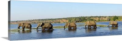 Elephants walking through Chobe River, Chobe National Park, Botswana