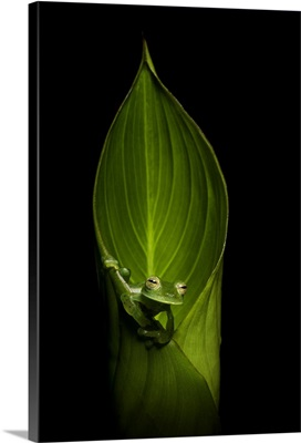 Emerald Glass Frog, Mid Elevation Cloud Forest, Bajos Del Toro, Costa Rica