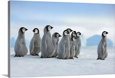 Emperor Penguin Chicks In Procession, Antarctica, Antarctic Peninsula, Snowhill Island