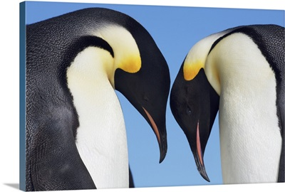 Emperor Penguin Greeting, Antarctica, Antarctic Peninsula, Snowhill Island