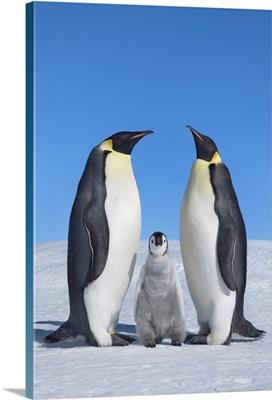 Emperor Penguin Parents With Chick, Antarctica, Antarctic Peninsula, Snowhill Island