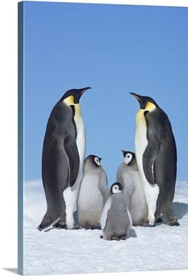 Emperor Penguin Parents With Chicks,  Antarctica, Antarctic Peninsula, Snowhill Island