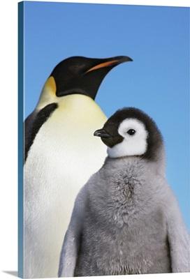 Emperor Penguin With Chicks, Antarctica, Antarctic Peninsula, Snowhill Island