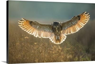 European Eagle Owl (Bubo Bubo) (Captive)