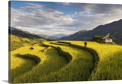 Farmer walks among rice terraces at harvest time, Mu Cang Chai Yen Bai Province, Vietnam