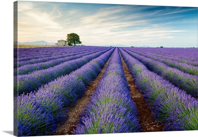 Farmhouse And Tree In Field Of Lavender, Provence, France