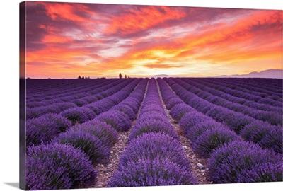 Field Of Lavender At Sunrise, Valensole Plain, Alpes De Haute, Provence, France