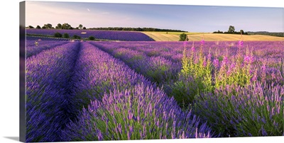 Field of lavender, Snowshill, Cotswolds, Gloucestershire, England