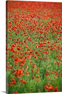 Field of poppy flowers, Castelluccio, Perugia, Italy