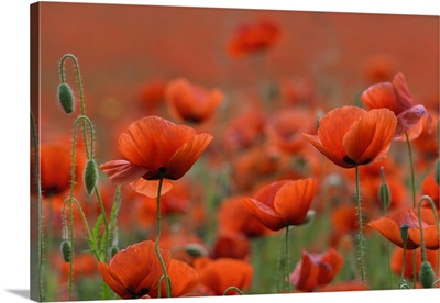Field Of Red Poppy In The Thuringian Rhoen, Dreilaendereck- Hessen, Thuringia, Germany