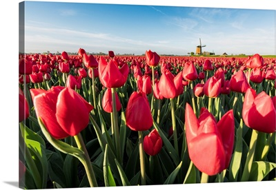 Field Of Red Tulips And Windmill On The Background,  Koggenland, Netherlands