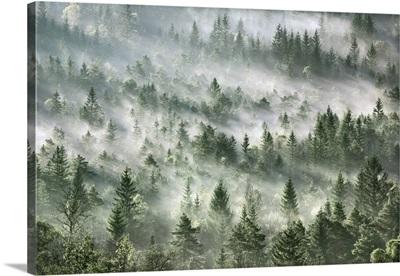 Fog Impression In Spruce Forest, Germany, Bavaria, Bad Tolz-Wolfratshausen, Schlederloh
