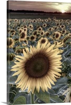 France, Indre-et-Loire, Sainte Maure de Touraine, Sunflowers in Field
