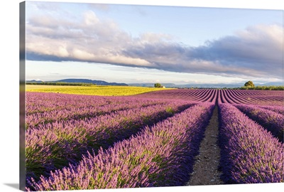 France, Provence Alps Cote d'Azur, Plateau of Valensole. Lavender field in full bloom