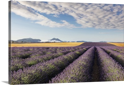 France, Provence Alps Cote d'Azur, rows of lavender and a field of wheat