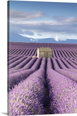 France, Provence, old stone barn surrounded by rows of lavender on Valensole plateau