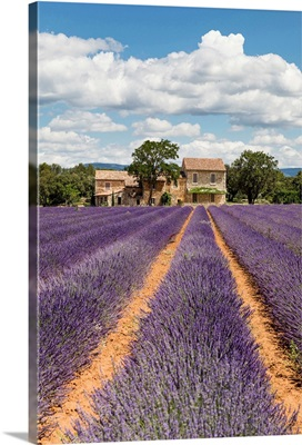 France, Provence, old stone house & rows of lavender near Roussillon