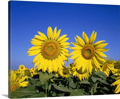 France, Provence, Sunflowers