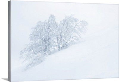 Frozen Trees In The Middle Of A Blizzard. Tuscany Appenines, Italy