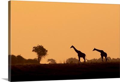 Giraffe Silhouettes, Chobe River, Chobe National Park, Botswana