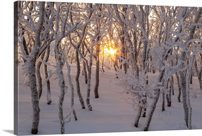 Gold sun between trees, Abisko, Kiruna, Sweden, Europe