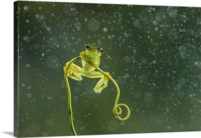 Granular Glass-Frog (Cochranella Granulosa), Lowland Rainforest, Boca Tapada, Costa Rica