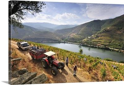 Grapes harvest along the Douro river, near Covelinhas, Alto Douro, Portugal