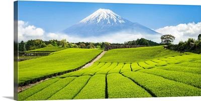 Green tea plantation near Mount Fuji, Yoshiwara, Shizuoka prefecture, Japan