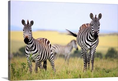 Grevy zebra (Equus grevyi), Maasai Mara National Reserve, Kenya