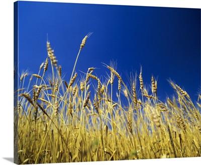 Harvest in Alentejo, Portugal