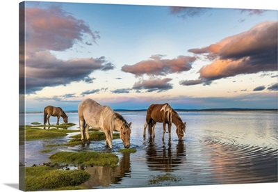 Horses Grazing And Drinking Water From Hovsgol Lake At Sunset, Mongolia