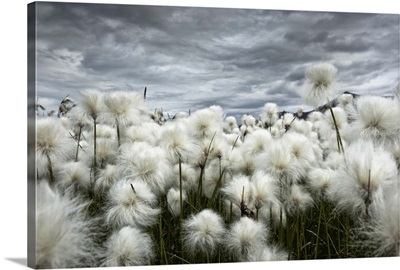 Iceland, Landmannlaugar, Flowering of cottongrass and the Iceland sky