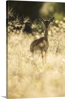 Impala (Aepyceros Melampus), Khwai, Botswana, Africa
