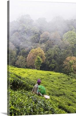 India, Kerala, Munnar, Tea Pickers