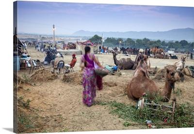 India, Rajasthan, Pushkar, Pushkar Camel Fair, Woman collecting camel dung at dawn