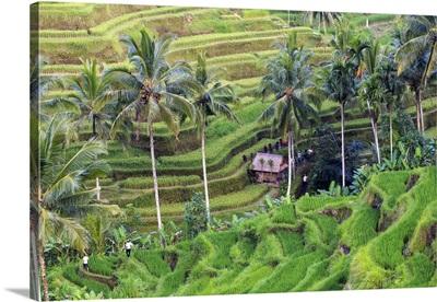 Indonesia, Bali, Ubud, Ceking Rice Terraces