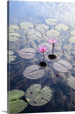 Indonesia, Sumatra, Samosir Island, Lake Toba, Water Lillies