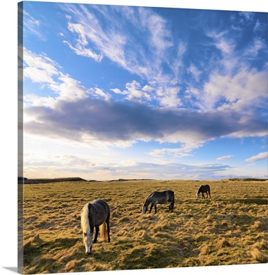Ireland, County Donegal, Fanad, Horses in field