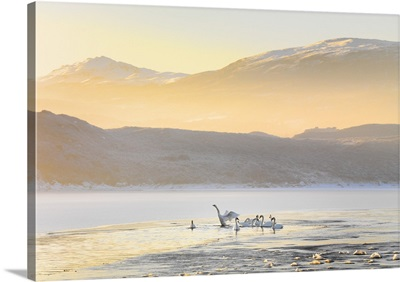 Ireland, County Donegal, Mulroy bay, Swans on frozen water